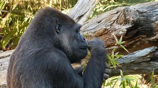 Bioparc Fuengirola: Gorilla's breakfast