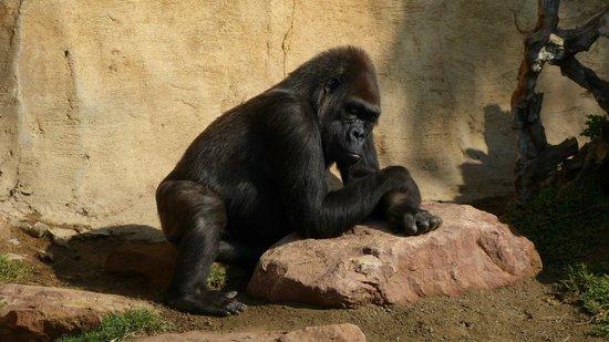Bioparc Fuengirola: Mister Gorilla taking the pose!