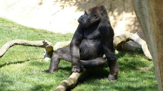 Bioparc Fuengirola: Relax Gorilla