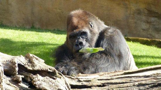Bioparc Fuengirola: Gorilla's snack!