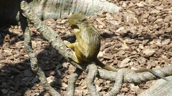 Bioparc Fuengirola: Talapoins