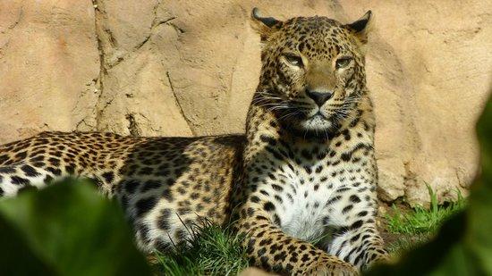 Bioparc Fuengirola: Proud Leopard