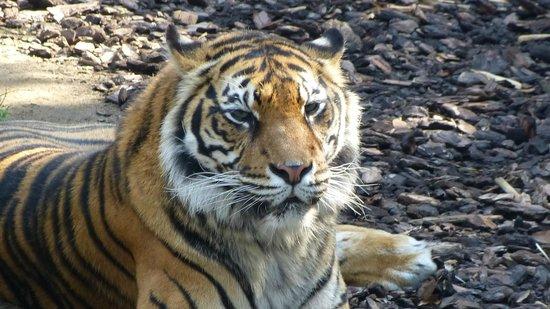 Bioparc Fuengirola: Thinking tigger
