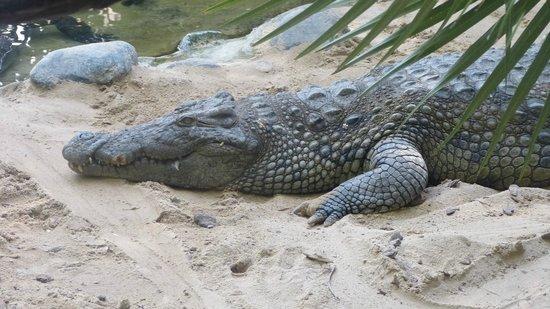 Bioparc Fuengirola: Sleeping crocodile