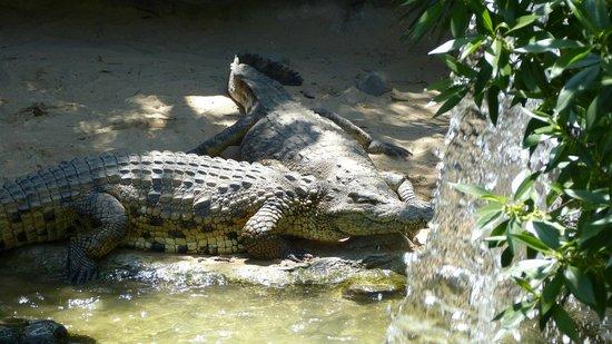 Bioparc Fuengirola: Crocodiles taking sun
