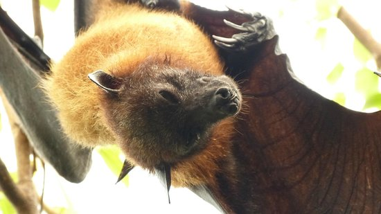 Bioparc Fuengirola: Sleeping bat
