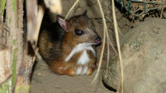 Bioparc Fuengirola : Baby Mouse Deer (Tragulidae)