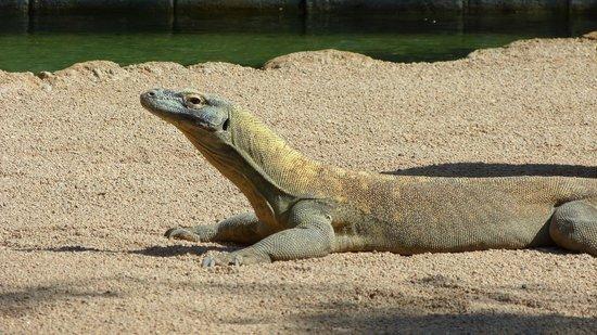 Bioparc Fuengirola: Komodo dragon