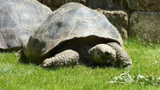 Bioparc Fuengirola : Galapagos giant tortoisel