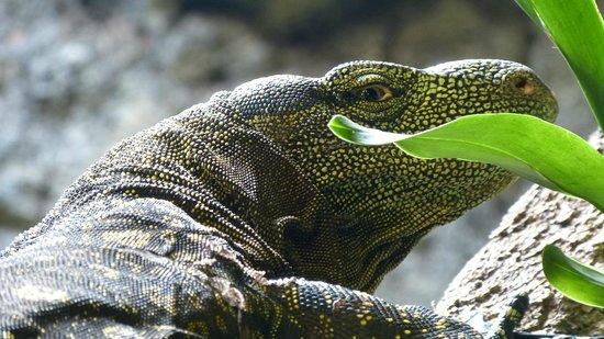 Bioparc Fuengirola: Iguana