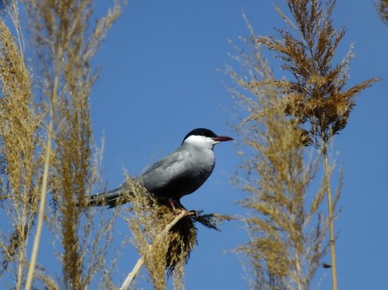 Valencia Birding Birdwatching Tours: Whiskered Tern