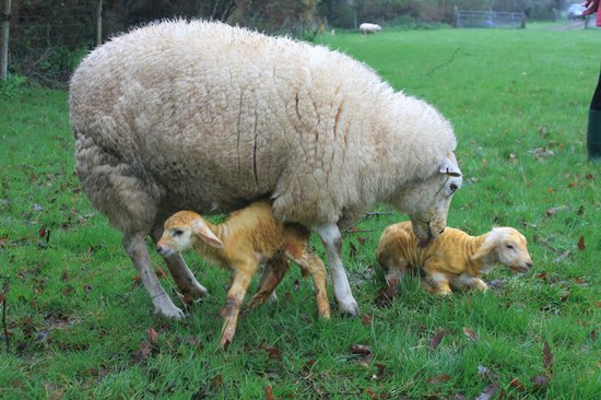 Come to Good Farm: 5 minute old lambs