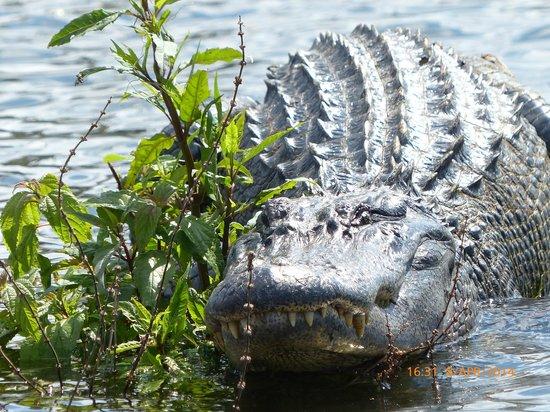 Cajun Country Swamp Tours : Alligator- Cajun Swamp Tours