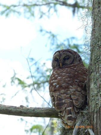 Cajun Country Swamp Tours : Owl - Cajun Swamp Tours