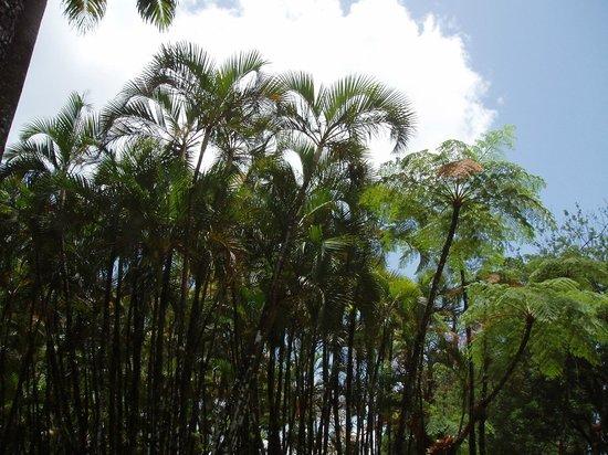 Jardín Balata: palmiers
