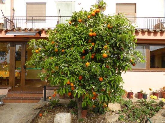 Agriturismo Marongiu: Leckere Orangen vor dem Haupthaus