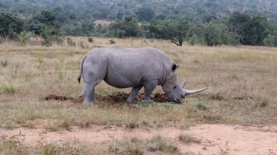 Lakeside Lodge: White Rhino Bull