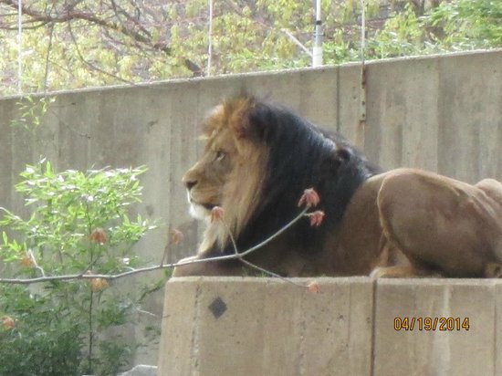 National Zoological Park: Lion