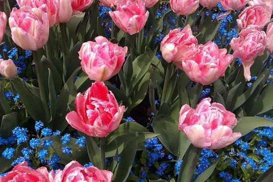 Butchart Gardens: Beautiful tulips