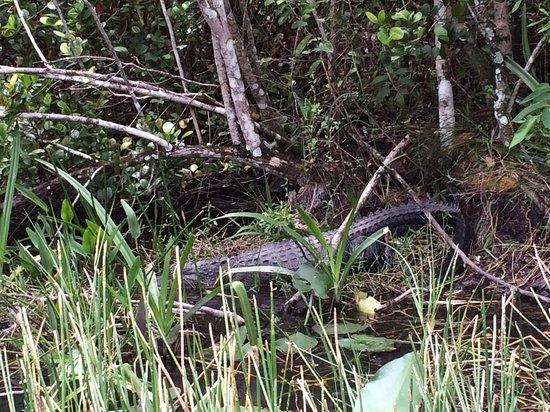 Gator Park: Gator in the brush