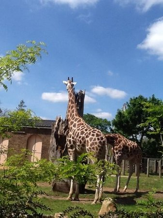 ZSL London Zoo : elegant giraffes
