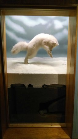 Denver Museum of Nature & Science: Pouncing Arctic Fox