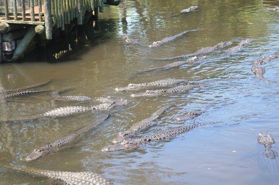 St. Augustine Alligator Farm Zoological Park : Alligators
