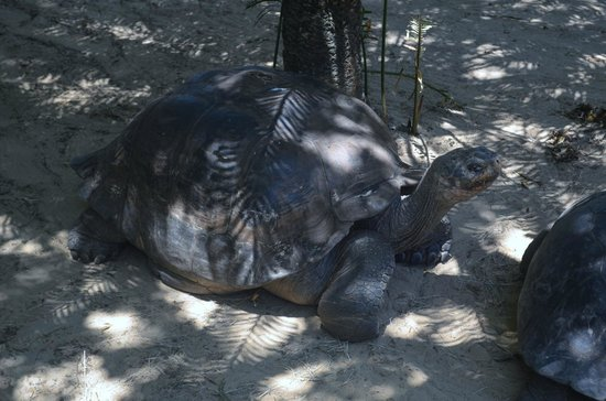 St. Augustine Alligator Farm Zoological Park : Galapagos tortoise