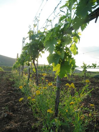 Agriturismo La Svolta : vigna..