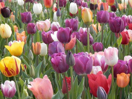 Tulips in Vondelpark