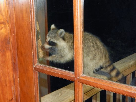 Treehouse Cottages: A raccoon helping himself to the bird feeder.