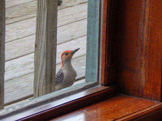 Treehouse Cottages: Woodpecker looking in at us.