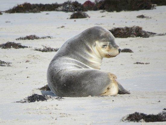 Kangaroo Island Odysseys : Seal Bay