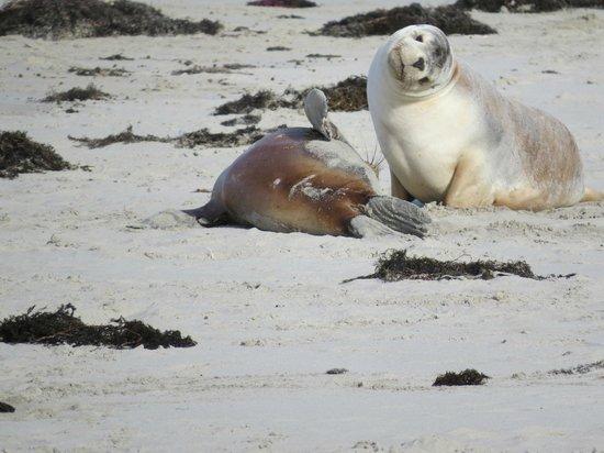 Kangaroo Island Odysseys: Seal Bay
