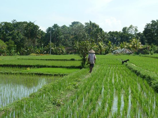 Bali Homestay Cepaka: Grandfather walking through rice fields