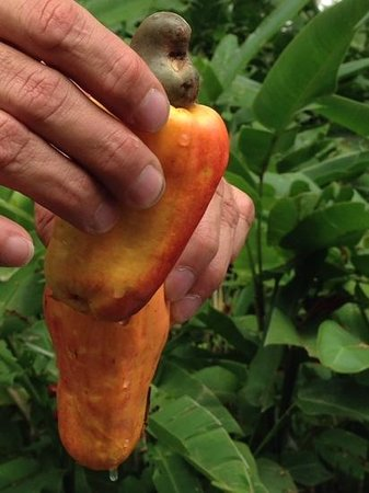 Pura Vida Gardens and Waterfalls : the cashew fruit