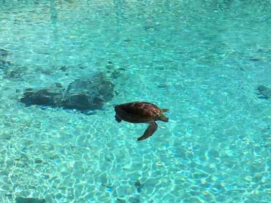 Le Meridien Bora Bora : A turtle on the mend at the sanctuary