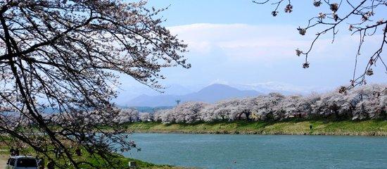 Shiroishigawa Embankment Hitome Sembonzakura: 蔵王連山を背景に
