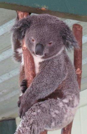 Blue Diamond Tours : koala
