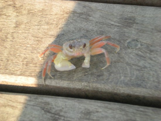 Amara Ocean Resort: There are little crabs everywhere - so cute!