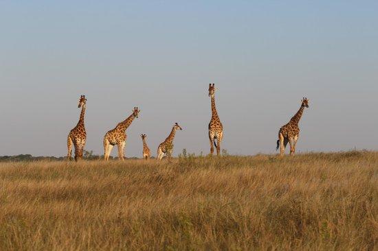 Kapama Southern Camp: Girafas