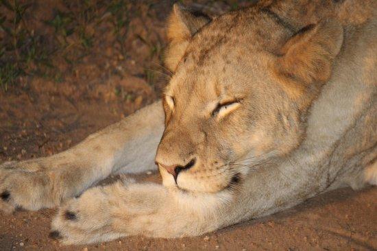 Kapama Southern Camp: Leoa dando uma cochilada ao entardecer