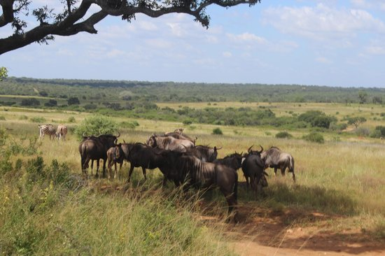 Kapama Southern Camp: Gnus