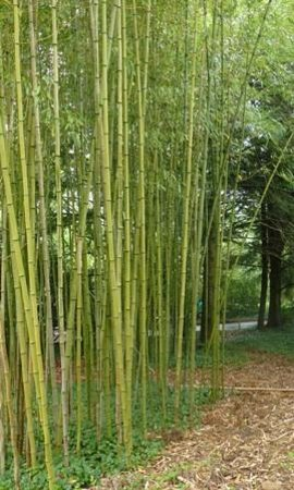 Carl Sandburg Home National Historic Site: Bamboo area near the house.