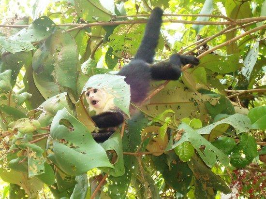 Arenas del Mar Beachfront & Rainforest Resort: Capuchin monkeys on site