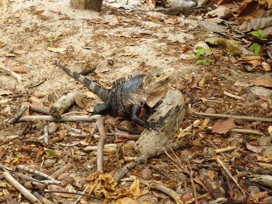 Arenas del Mar Beachfront & Rainforest Resort : Iguana