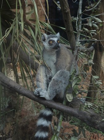The Florida Aquarium: lemurs of madagascar
