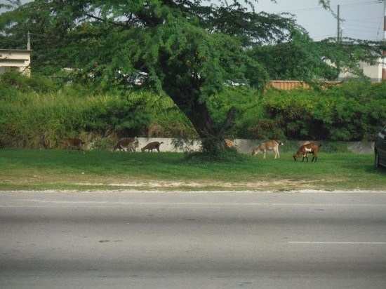 Sandals Montego Bay : In the states, we have dogs or geese or something like that, in Jamaica they have goats everywhe