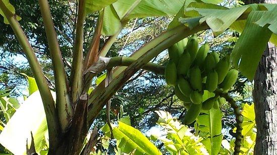Le Meridien Tahiti: plentiful plantains