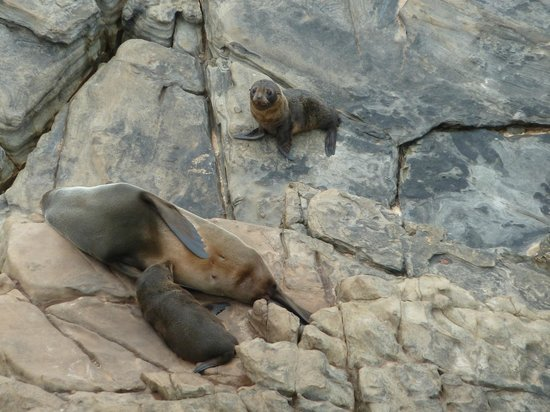 Snellings View: Seal pups at Cape du Couedic